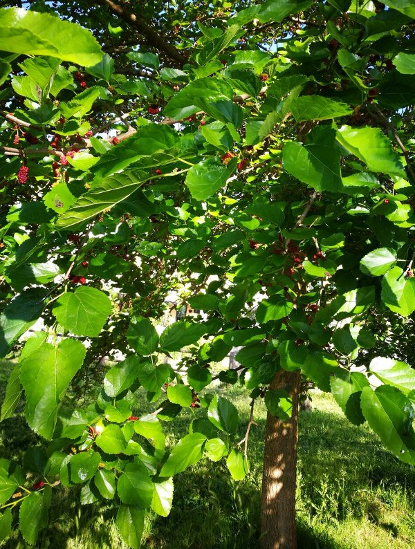 albero-di-gelso